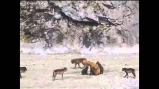 → Животные Медведица защищает медвежат от стаи волков