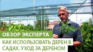 видео Дерен пестролистный – посадка и уход за кустарником