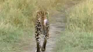 Lions vs leopards - African big cats fight for survival - BBC wildlife