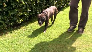 Billy Staffordshire Bull Terrier