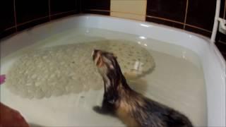 В мире животных. Купание хорька   In the animal world. Bathing ferret