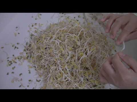 Sprouting: Mung Bean Seeds 20