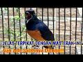 Masteran Murai Batu Lain Akan Terpikat Oleh Pembakar Emosi Burung Yang Satu Ini  Mp3 - Mp4 Download