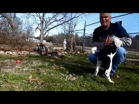 Meet Remi-Great Pyrenees/Anatolian Shepherd mix