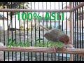 Kicau Burung Prenjak Lumut Kualitas Hd Cocok Buat Masteran Pancingan Ys  Mp3 - Mp4 Download