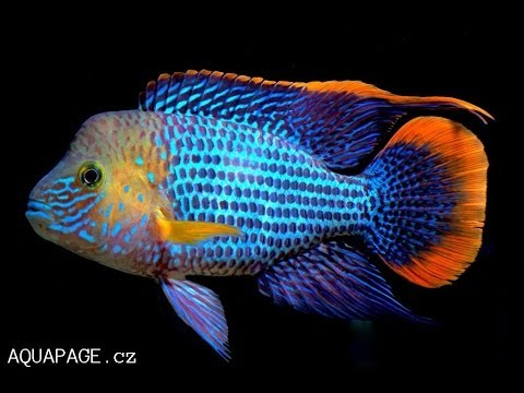 Cichlid forum green terror a rivulatus gold edge for Big freshwater aquarium fish