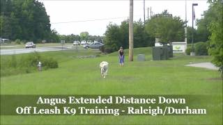 "8mo Standard Poodle ""angus"" Before And After Video - Dog Trainers Raleigh Durham"