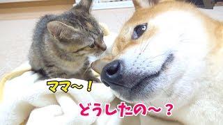 柴犬リコがヘソ天でお腹ナデナデしてもらった後です♪ リコ大好きの子猫...
