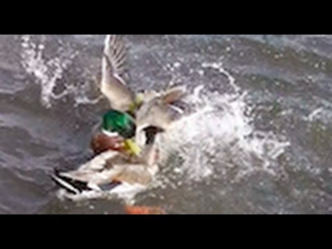 Image result for ducks fighting