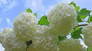 видео Декоративные кустарники для сада