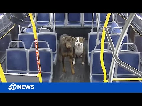 Lost dogs reunited with family thanks to bus driver