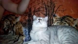 Шотландская  кошка и кот.Вечерние беседы.