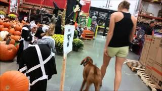 Gracie (5.5 mo Vizsla) Before and After Video-Off Leash K9 Training, Tampa Bay