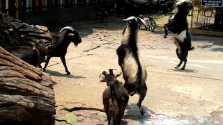 Goats Fight for Dominance to Win Sex at the Zoo
