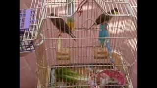 Male Canary chasing a female to be vaccinated