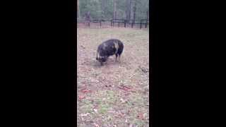 Pygmy Pig Chases Cattle Dog