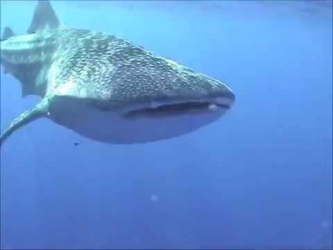 Whale Shark with Girl . Molokini Island, Maui Hawaii