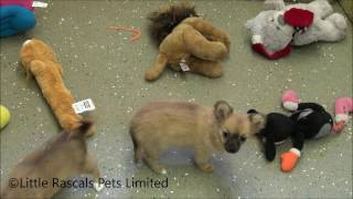 Little Rascals Uk Breeders New Litter Of Long Hair Chihuahua