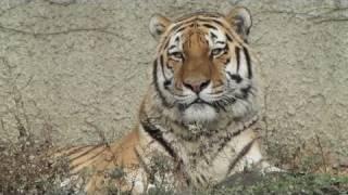 天王寺動物園のアムールトラを久しぶりに撮ってみました。後半、便意(...