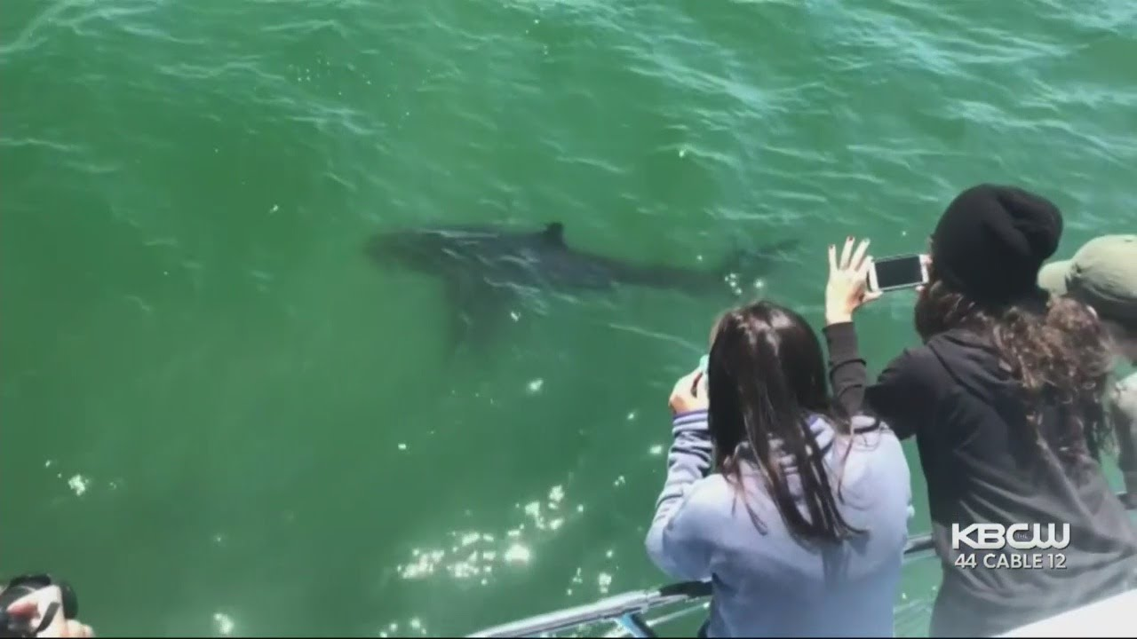 Great White Sharks Spotted Off Half Moon Bay