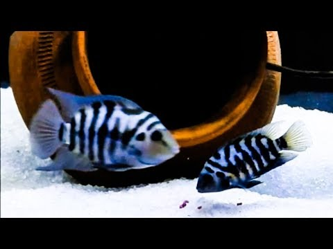 Convict Cichlid Care & Tank Set up Guide