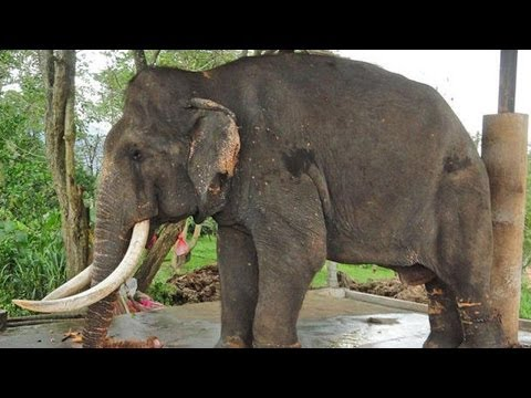 Raju The Elephant Cries After Being Rescued - Amazing Story