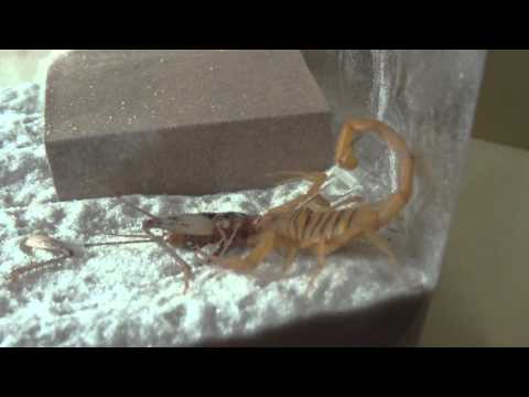 how to catch a scorpion