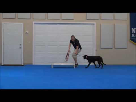Abby (Labrador Retriever) Boot Camp Dog Training Demonstration