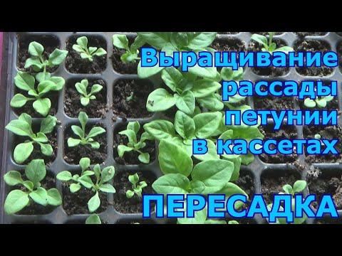 Пересадка петунии после всходов (перевалка из кассет). Как вырастить хорошую рассаду петунии.