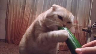 коты боятся огурцов?супер милый кот.диета.ПОРВАЛ ИНТЕРНЕТ.Огурец и кот