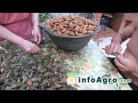 Recolección manual del almendro