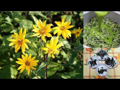 Диабет: ферментация листьев топинамбура обычная, а вторая - соком ...