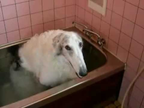 Borzoi dog taking a bath by himself