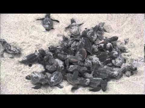 Ocean Isle Beach Sea Turtle Protection Organization