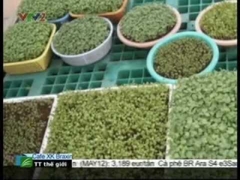 Cách trồng rau mầm tại nhà