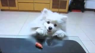 very funny animals dog waits petiently for treat