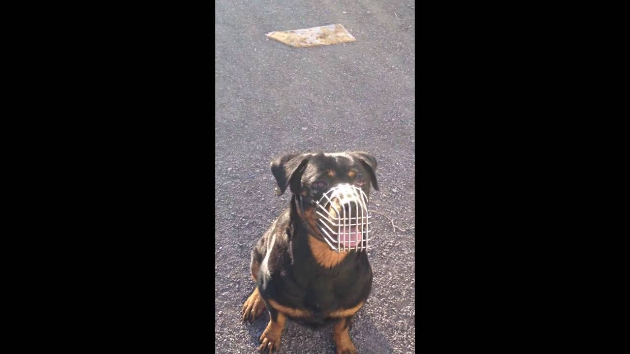 Rottweiler Training Highlights Youtube