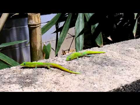 Hawaiian Day Gecko fighting over Territory