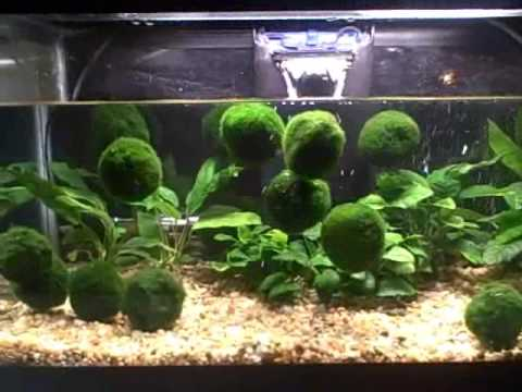Floating marimo moss balls youtube for Moss balls for fish tanks