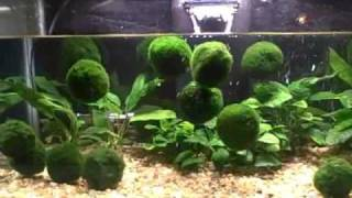 Cover images Floating Marimo Moss Balls