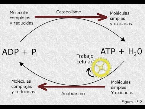 Aprender todo acerca de metabolismo del calcio y fosforo