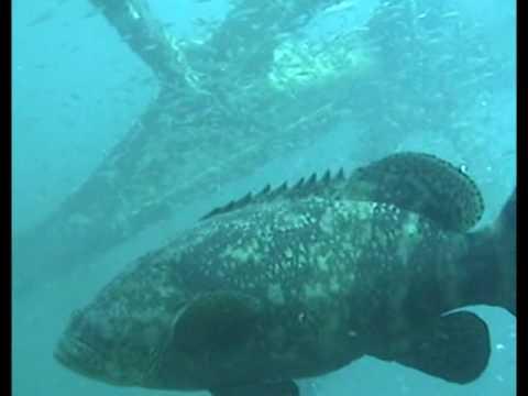 Goliath Grouper at Bridge Span #14  Panama City, FL