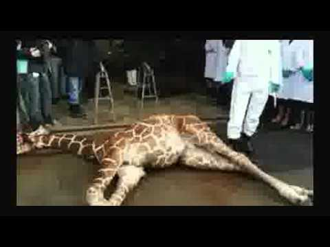 Danish zoo that killed Marius the giraffe puts down four lions