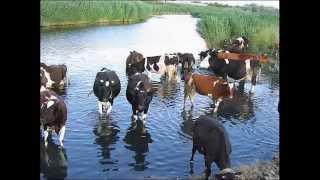 Домашние коровы