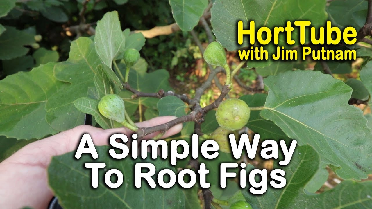 A Simple Way To Root Fig Trees Part 1 Propagating Figs