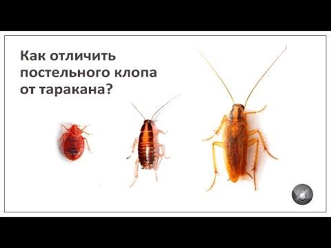 Как отличить постельного клопа от таракана