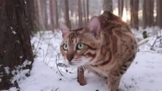 Бенгальская кошка Буся / Зимняя прогулка в лесу
