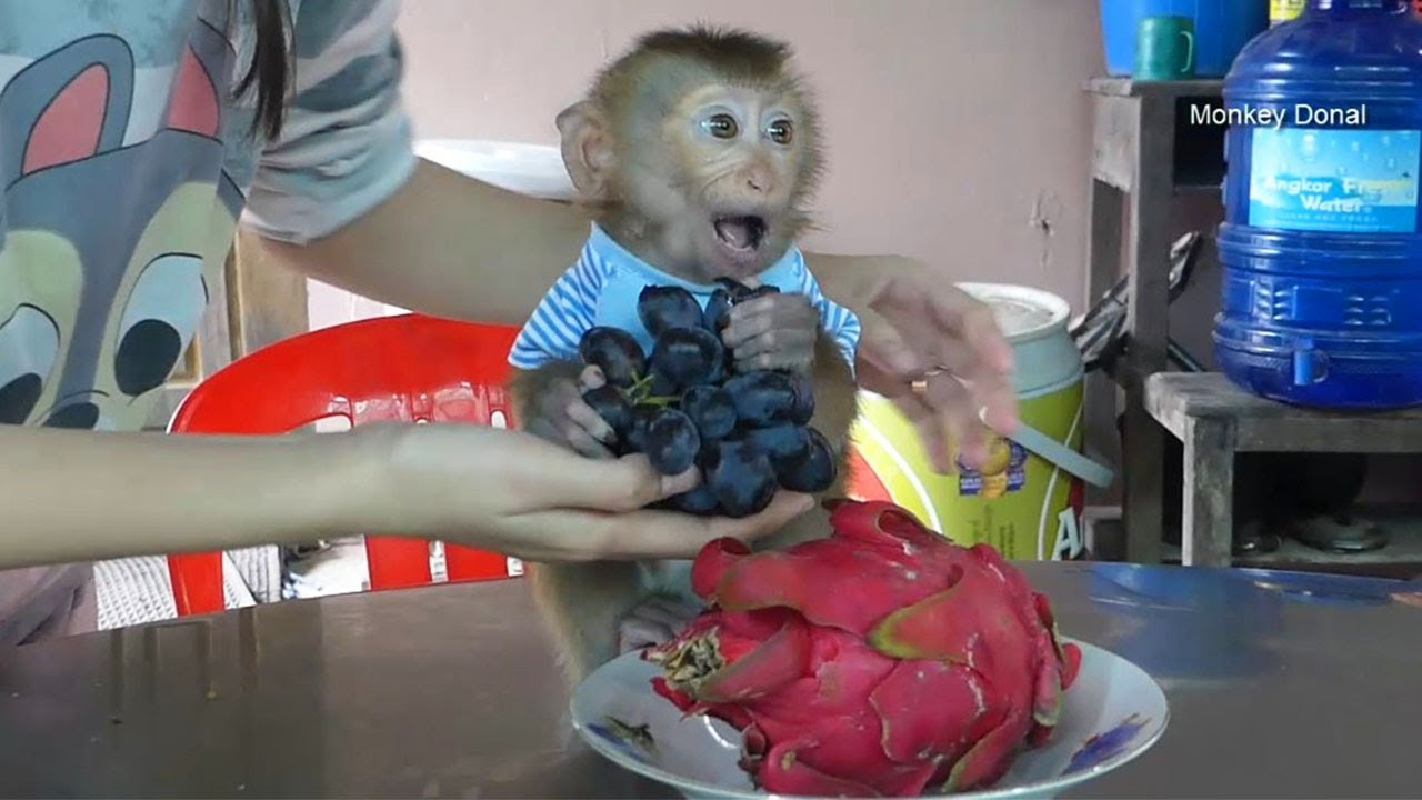 Oops!!! Why Baby Monkey Donal Not Want To Eat Black Grapes And Red Dragon
