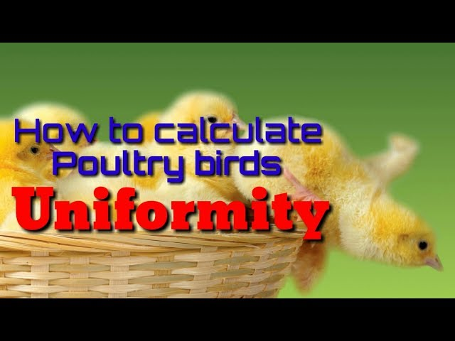 How to calculate poultry birds Uniformity