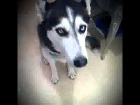 Dog Plays Hide N Seek Vine By: Irish Ahern and Steel the Husky